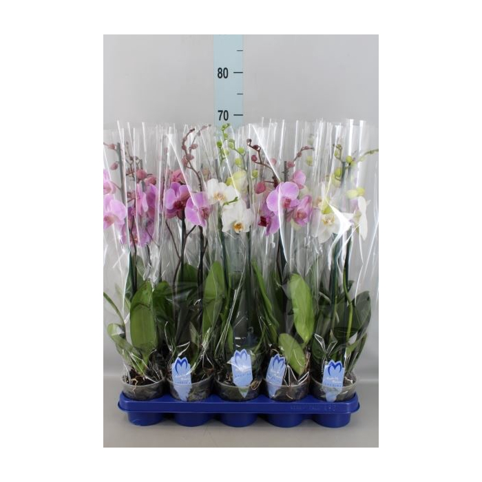 <h4>Phalaenopsis   ...mix</h4>