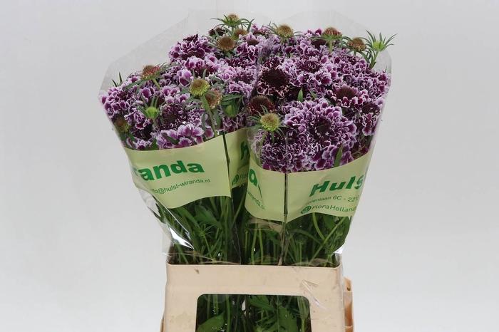 <h4>Scabiosa At F Scoop Purple Lace</h4>