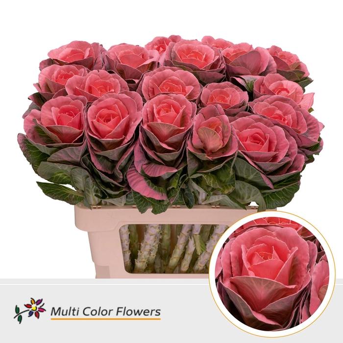 <h4>Brassica  Rose</h4>