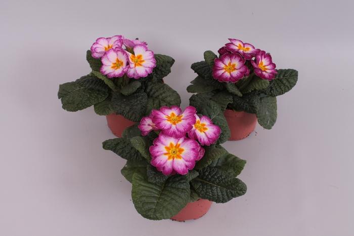 <h4>Primula acaulis Paars/Wit</h4>