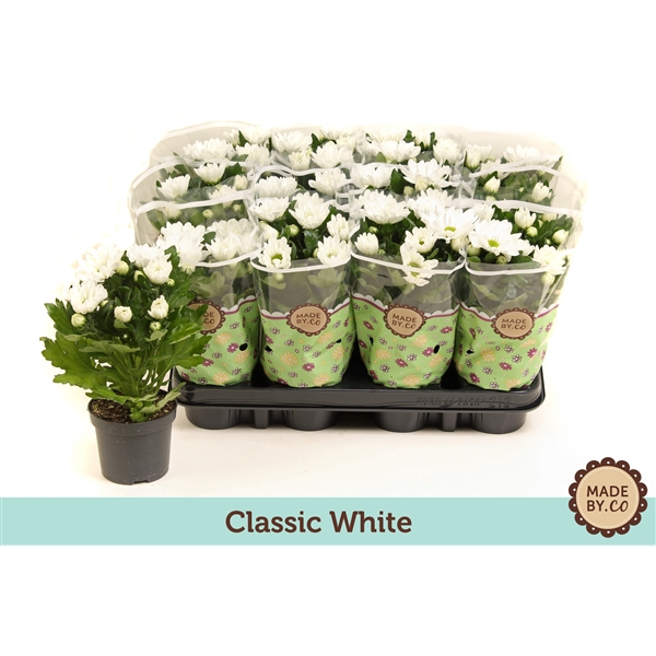 <h4>Chrysanthemum white</h4>