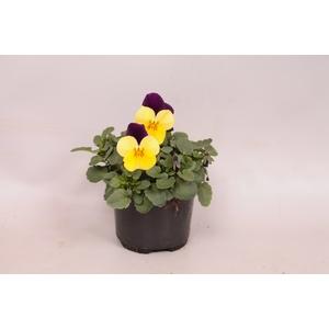 Viola cornuta F1 Yellow with purple wing imp.