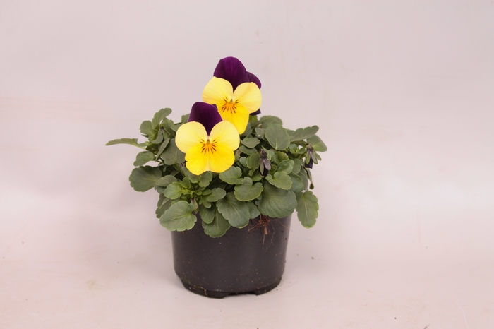 <h4>Viola cornuta F1 Yellow with purple wing imp.</h4>