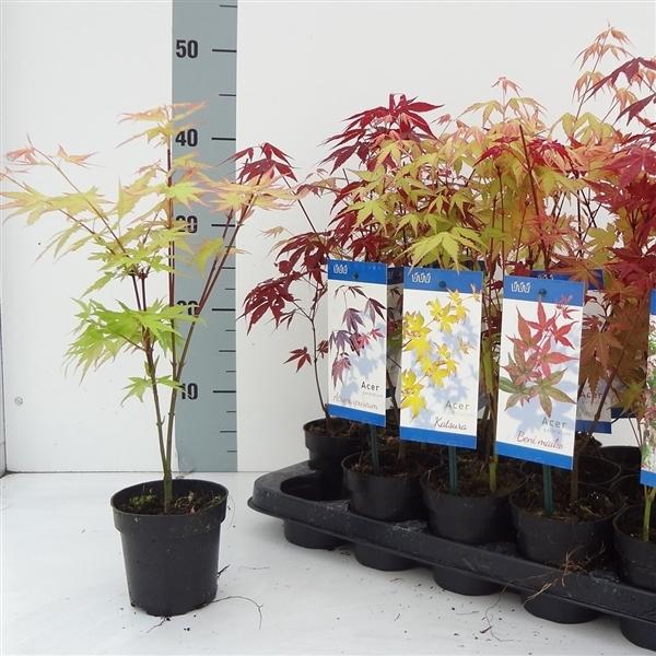 <h4>Acer palmatum 'Little Princess'</h4>