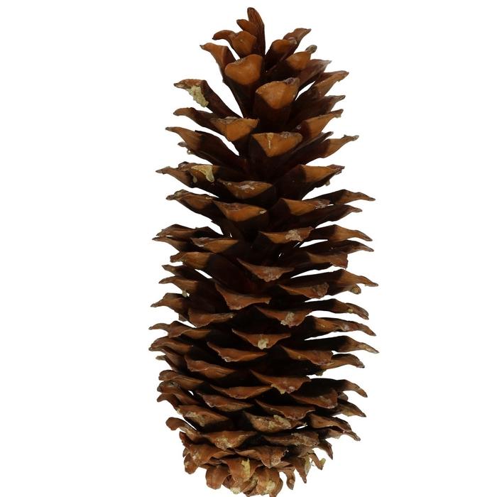 <h4>Droogdeco Sugar pine cone 30cm x5</h4>