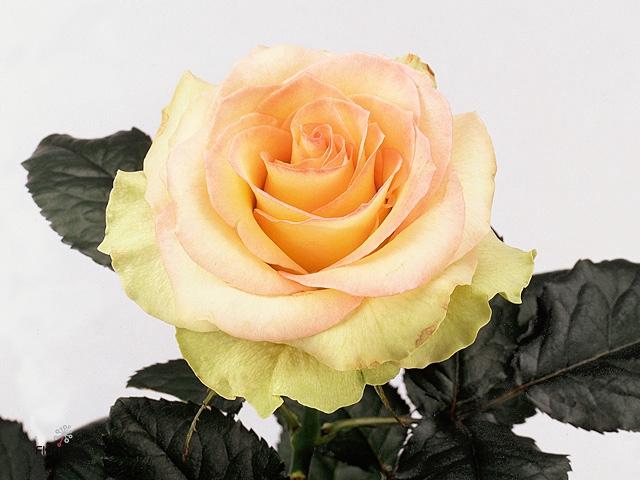 Rosa Gr. Kiwi