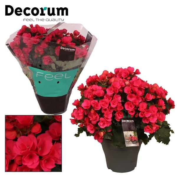 <h4>Begonia betulia ''pink''  lila Decorum</h4>