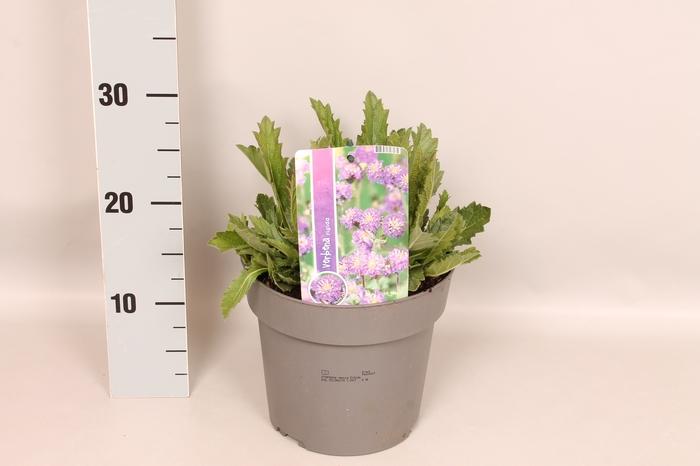 <h4>vaste planten 19 cm  Verbena venosa Rigida</h4>