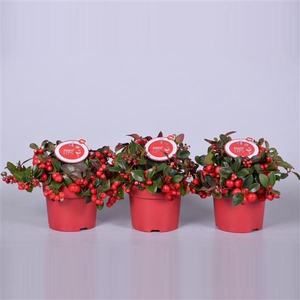 <h4>MoreLIPS® Gaultheria Big Berry, P12</h4>