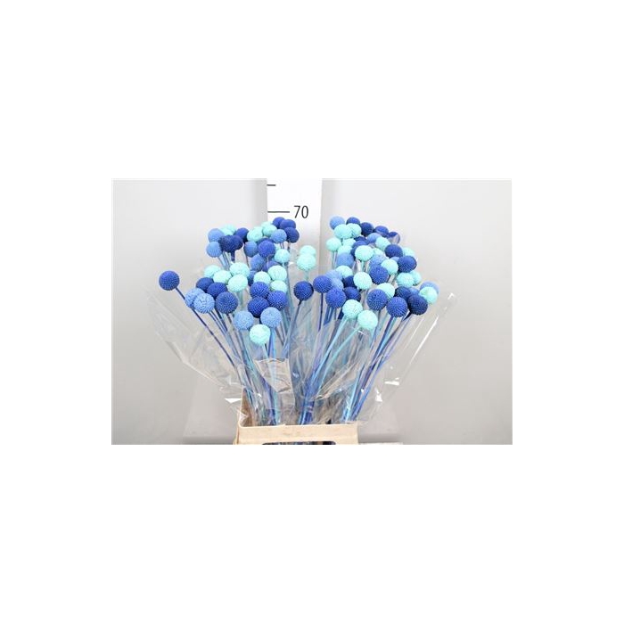 <h4>DRIED FLOWERS - CRASPEDIA BLUE LAGOON MIX 10PCS</h4>