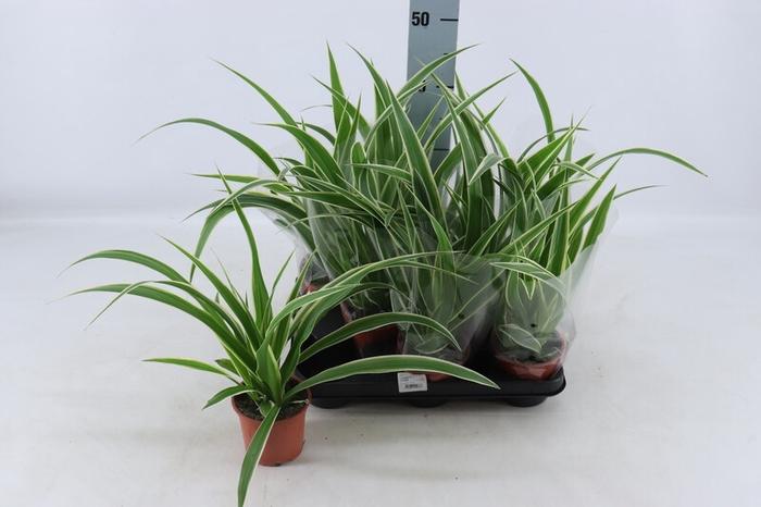 <h4>Chlorophytum comosum Variegatum</h4>