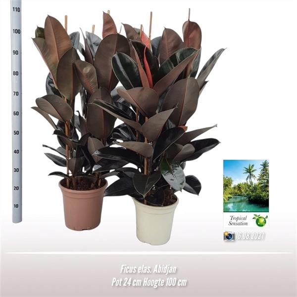 <h4>Ficus elas. abidjan</h4>