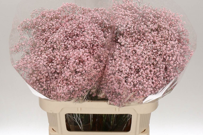 <h4>Gypsophila Kleurbehandeld Million Light Pink</h4>