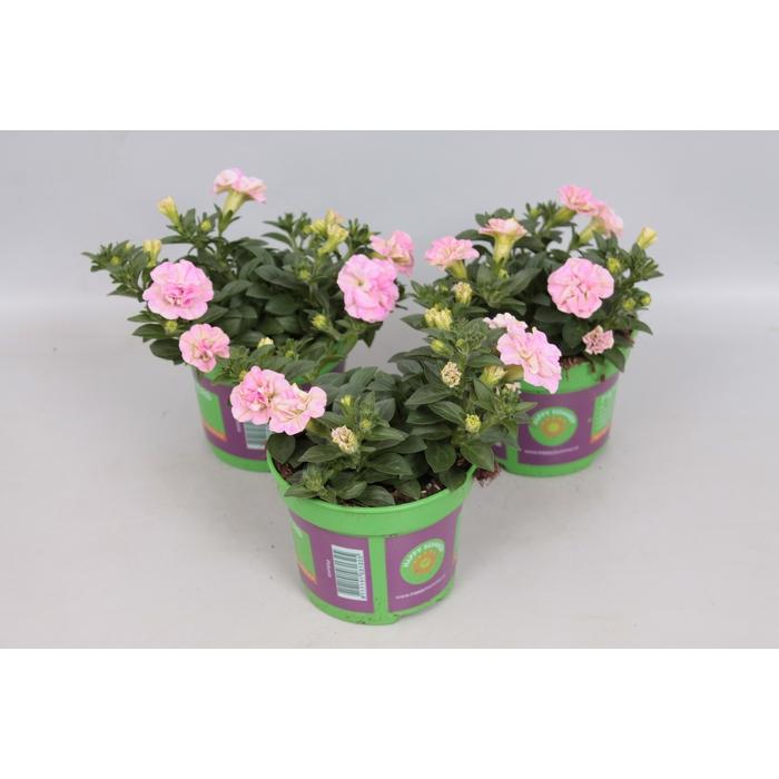 <h4>Petunia Sweet Sunshine Light Pink</h4>