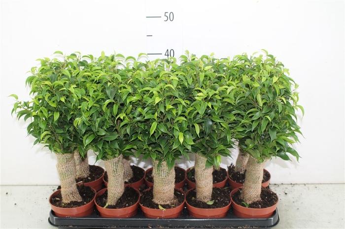 <h4>Ficus Natasja Jute Stam</h4>