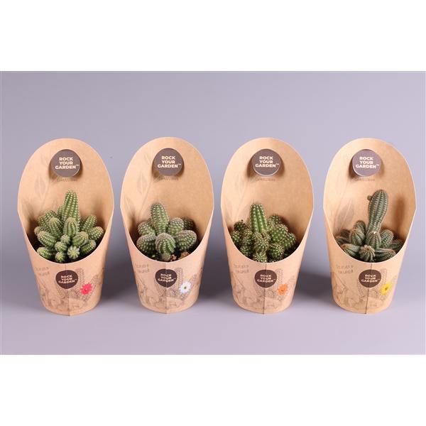 <h4>Cactus Rockyourgarden mix</h4>