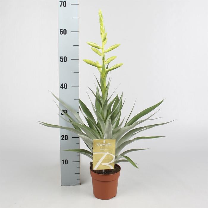 <h4>Tillandsia oerstediana</h4>