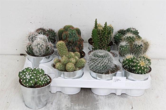 <h4>Cactus Gemengd Zinkpot</h4>