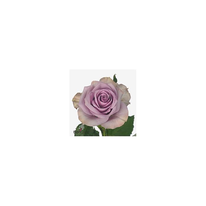 <h4>Rosa Gr. Nightingale!</h4>
