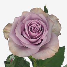 Rosa Gr. Nightingale!