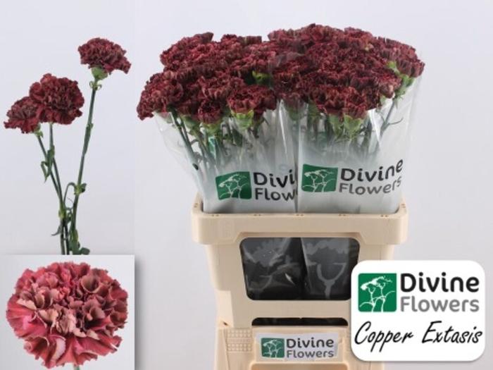<h4>Dianthus st. Copper Extasis</h4>
