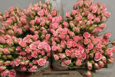 <h4>Rose Sp. Odilia</h4>