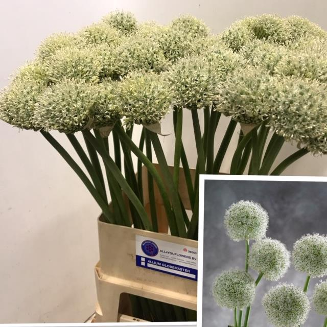 <h4>ALLIUM WHITE GIANT</h4>