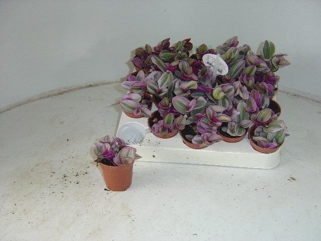 <h4>Tradescantia albiflora Nanouk 5,5Ø</h4>