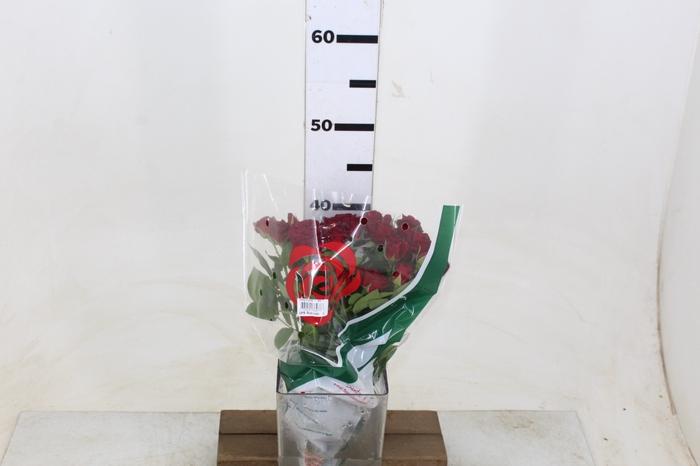 <h4>ROSA SPRAY RUBICON 040 CM</h4>