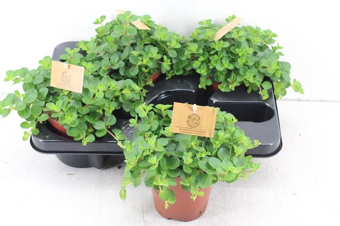 <h4>pl. Smit 12cm - Peperomia Rotundifolia</h4>