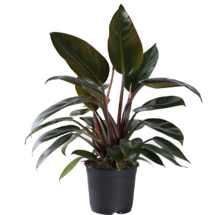 <h4>Philodendron Rojo Congo 11Ø 30cm</h4>