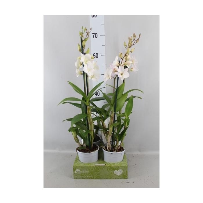 <h4>Dendrobium  'Sa-Nook Coconut Dream'</h4>