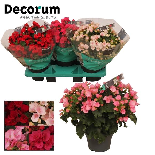 <h4>Begonia el. Betulia mix</h4>