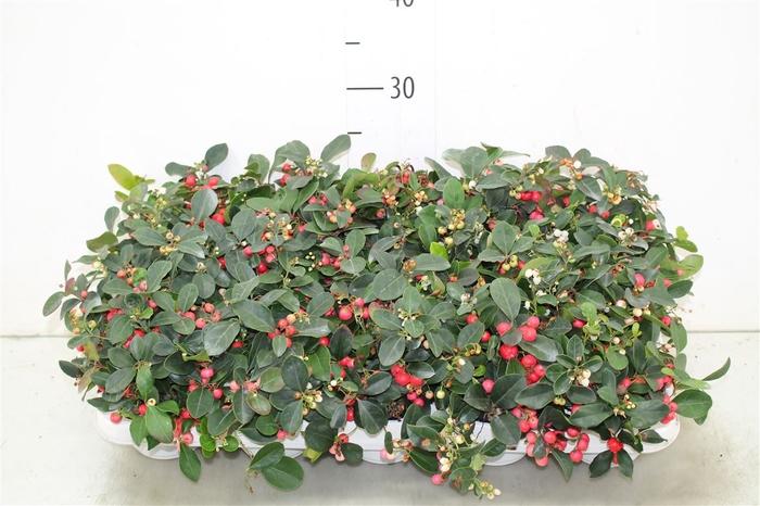 <h4>Gaultheria Pro Big Berry</h4>