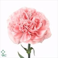 <h4>Clavel Rosa Standard (APOSENTO)</h4>