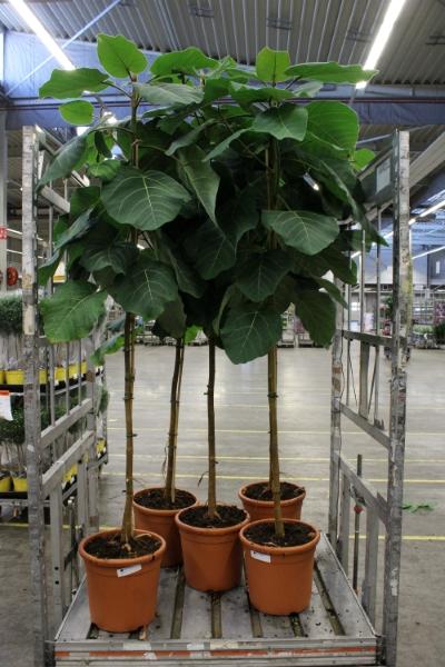 <h4>Ficus  'Velvet'</h4>