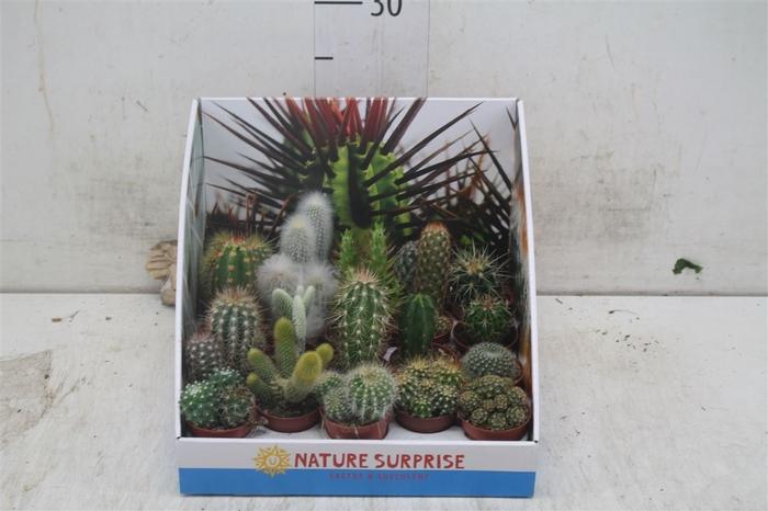 <h4>Cactus Gemengd Showdoos</h4>