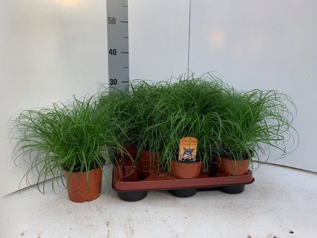 <h4>Cyperus alternifolius 12Ø 30cm</h4>
