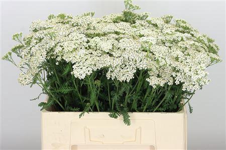 <h4>Achillea White Pure Beauty</h4>