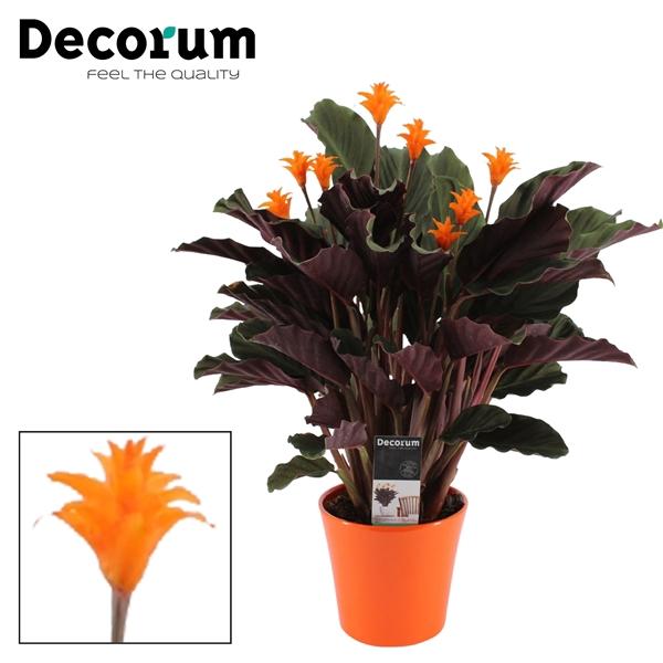 <h4>Calathea Crocata Candela 7/8 in oranje keramiek DECORUM</h4>
