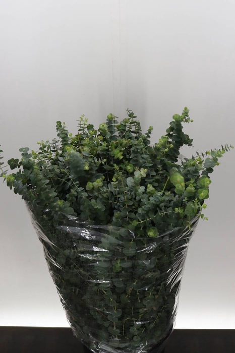 <h4>Eucalyptus Baby Blue Extra (P. Bos)</h4>