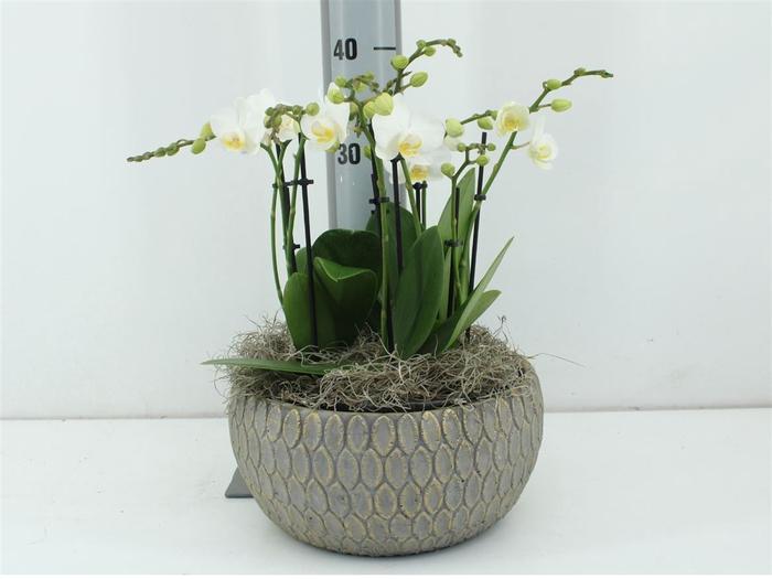 <h4>Phalaenopsis In Marakesh Dish Grey</h4>