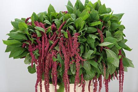 <h4>Amaranthus Hg Red Cord Fine</h4>