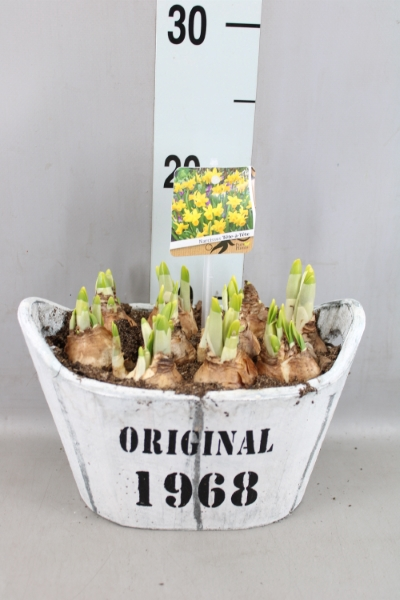 <h4>Arr.  Narcissus Tete Tete L%</h4>