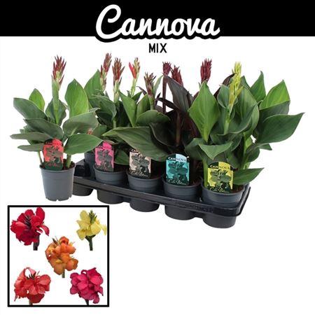 <h4>Canna Canova Gemengd</h4>