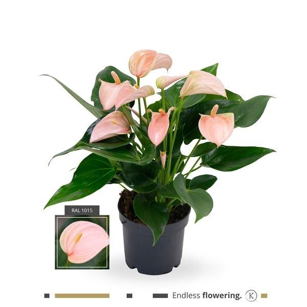 <h4>Anthurium Andreanum Grp Joli Peach</h4>