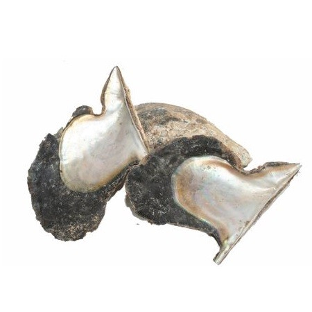 <h4>Shell Oyster Wing Pinguin 13-22cm</h4>