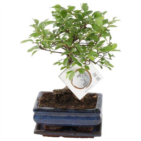 <h4>Bonsai A1151001ze Zelkova Parvifolia Keramiek</h4>