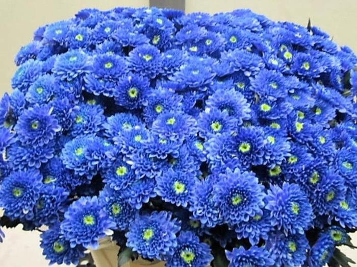 <h4>Chr T Ibis Blauw</h4>