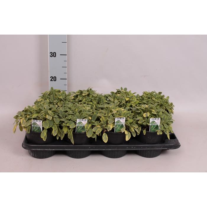<h4>Kruiden I Salvia officinalis   (salie)</h4>